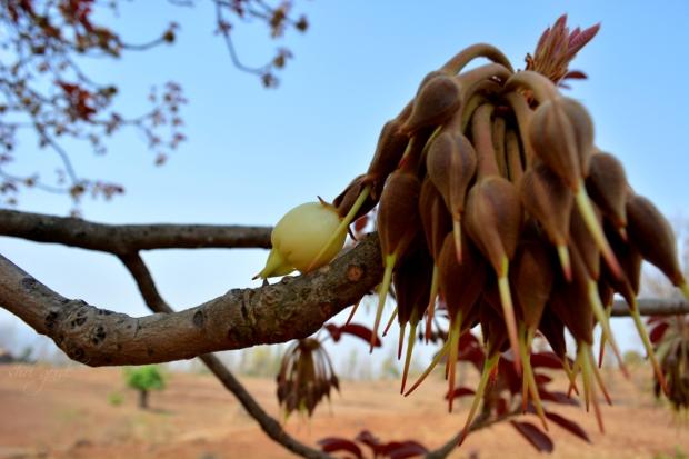 Moha - Mahua Flower Shri Gorde